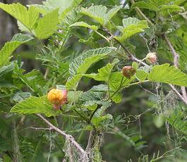 Rubus_spectabilis_plant.jpg