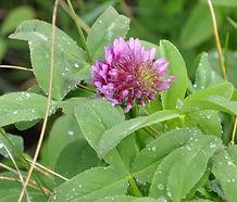 Trifolium_wormskjoldii_flower.jpg
