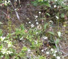 Hieracium_albiflorum_plant.jpg