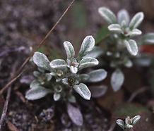 Hesperevax_sparsiflora_flower.jpg