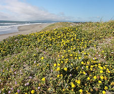 Abronia_latifolia_habitat.jpg