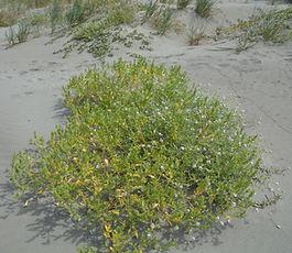 Cakile_edentula_plant.jpg