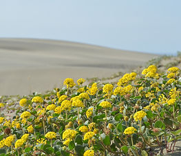Abronia_latifolia_plant.jpg
