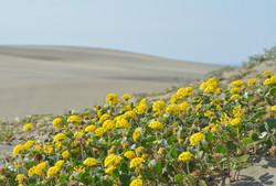 Abronia_latifolia_plant