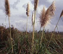 Cortaderia_jubata_plant.jpg