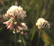 Trifolium_repens_flower.jpg