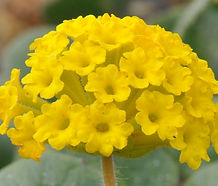 Abronia_latifolia_flower.jpg