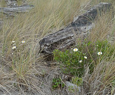 Leucanthemum_vulgare_habitat.jpg