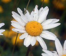 Leucanthemum_vulgare_flower.jpg