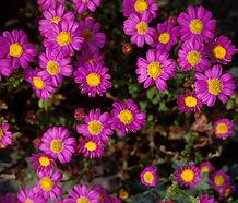 Senecio_elegans_flower.jpg