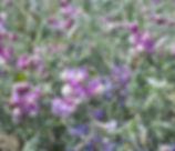 Lathyrus_littoralis_plant.jpg