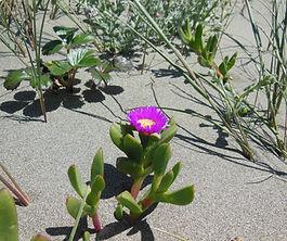 Carpobrotus_chilense_plant.jpg