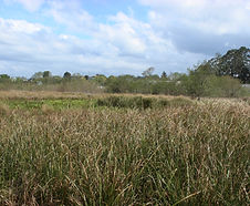 Carex_obnupta_habitat.jpg