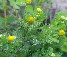 Matricaria_discoidea_flower.jpg