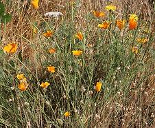 Eschscholzia_californica_habitat.jpg