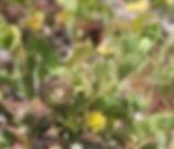 Medicago_polymorpha_plant.jpg