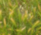 Hordeum_jubatum_plant.jpg