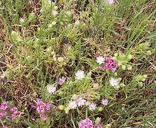 Spergularia_macrotheca_habitat.jpg