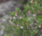 ArctostaphylosXmedia_plant.jpg
