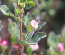 Acmispon_americanus_flower.jpg