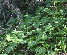 Maianthemum_dilatatum_habitat.jpg