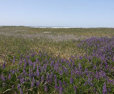 Lupinus_rivularis_habitat.jpg