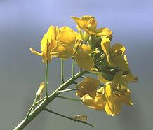 Brassica_rapa_flower.jpg