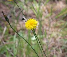 Hypochaeris_radicata_flower.jpg