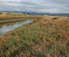 Salicornia_pacifica_habitat.jpg