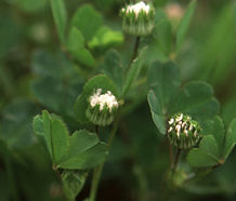 Trifolium_microdon_flower.jpg