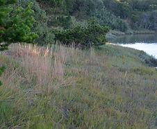 Puccinellia_nutkaensis_habitat.jpg