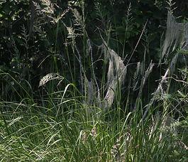 Calamagrostis_nutkaensis_plant.jpg