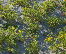 Tanacetum_bipinnatum_habitat.jpg