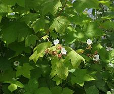 Rubus_parviflorus_habitat.jpg