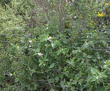 Solanum_douglasii_habitat.jpg