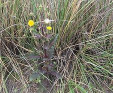 Sonchus_oleraceus_habitat.JPG