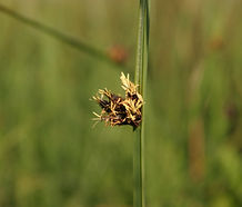 Schoenoplectus_americanus_flower.jpg