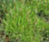 Plantago_maritima_plant.jpg