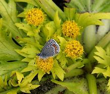 Sanicula_arctopoides_flower.jpg