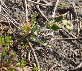 Senecio_vulgaris_plant.jpg