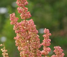 Rumex_crispus_flower.jpg