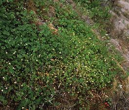 Trifolium_microdon_plant.jpg