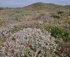 Eriogonum_latifolium_habitat.jpg