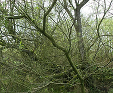 Salix_sitchensis_habitat.jpg