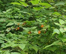 Rubus_spectabilis_habitat.jpg