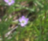 Spergularia_macrotheca_plant.jpg