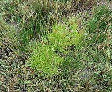 Plantago_maritima_habitat.jpg