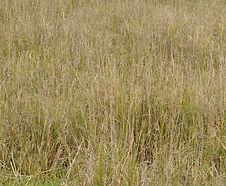 Spartina_densiflora_habitat.jpg