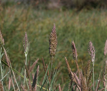 Agrostis_microphylla_flower.jpg