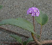 Abronia_umbellata_breviflora_flower.jpg